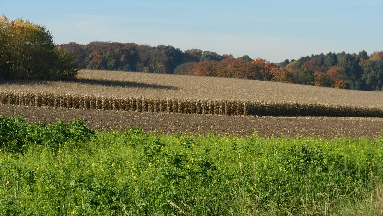 Landschaft mit Maisacker