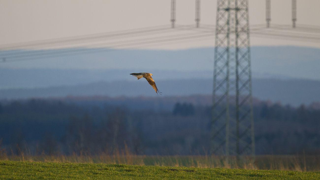Ein Rotmilan fliegt vor einem Strommast